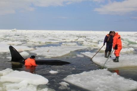 На Сахалине спасли косаток, зажатых во льдах