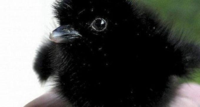 В Тюмени вороны, защищая вороненка, не давали детям выйти из садика