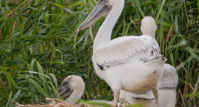 Энтузиасты в Челябинской области собирают деньги на плавучее гнездо для пеликанов
