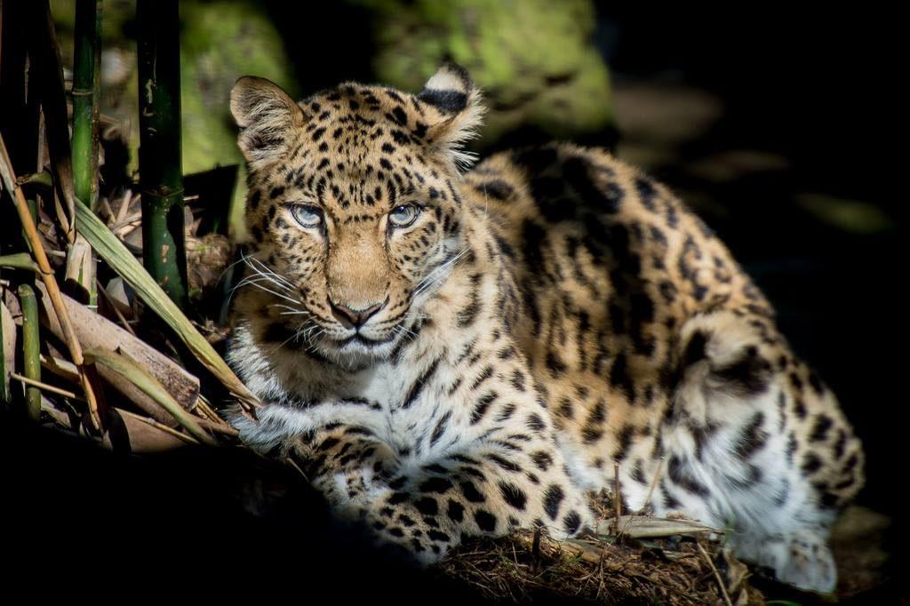 Дальневосточный леопард-1