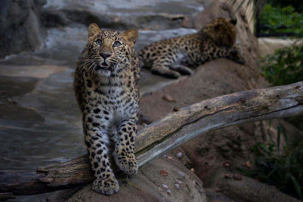 Дальневосточный леопард-2