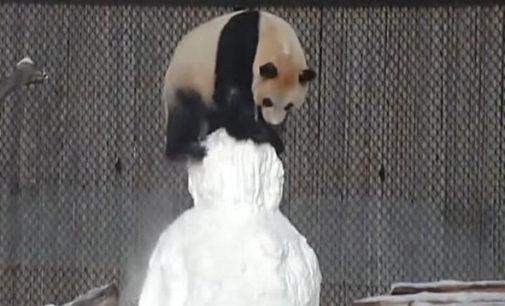 В Торонто панда подралась со снеговиком