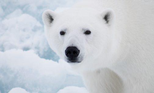 Программа «Белый медведь». Исследования в 2020 году продолжались вопреки пандемии