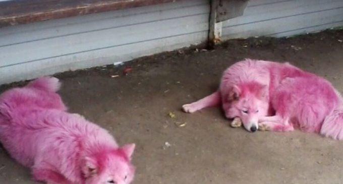 В Краснодарском крае зоозащитники спасли розовых собак