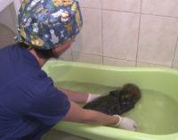 На Камчатке спасли оставшегося без матери детёныша калана