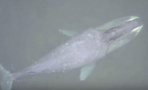 Лидер «Сансары» участвует в спасении 13-метрового кита, застрявшего на мелководье на Дальнем Востоке