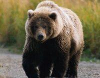 Новый Винни-Пух: в Сети появилось видео спасения застрявшего в окне медведя