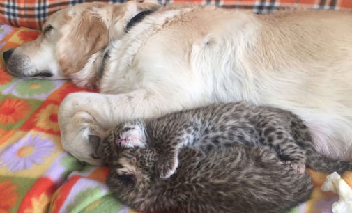 Многодетная мама-ретривер вскормила брошенных родителями леопардиков