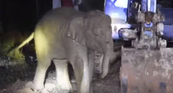 Счастливое спасение слоненка в Таиланде попало на видео