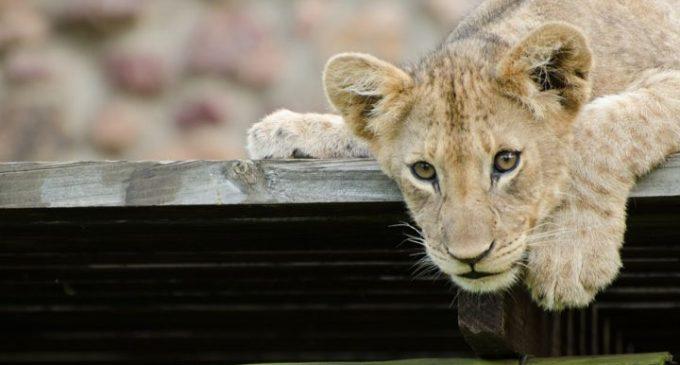 Мы хотим нашим львятам звонкие дать имена!