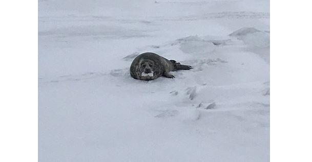 Добровольцы спасли тюленя в Финском заливе