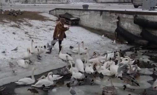 Жители Балтийска спасают замерзающих лебедей