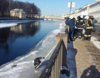 В Петербурге спасали вмерзшую в лед чайку