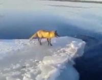 Рыбак из Шлиссельбурга спас лису, застрявшую на льдине