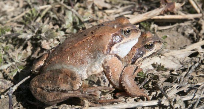 Жители Эстонии спасли огромное количество лягушек и жаб