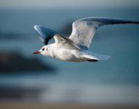 Спасение чайки из браконьерской сети