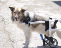 Сбитому машиной псу вживили искусственный протез в Караганде