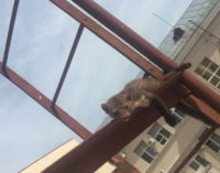 Спасение застрявшей на пожарной лестнице куницы в Воронеже попало на видео