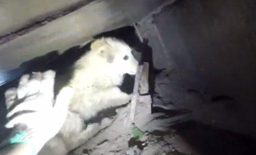 В Новосибирске диггеры вытащили щенка из коллектора