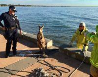 Спасение кенгуру из воды