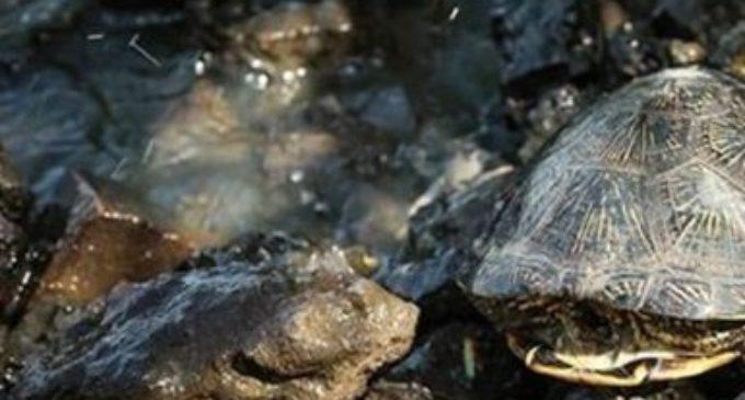 Спасение маленькой черепашки  из старой браконьерской снасти