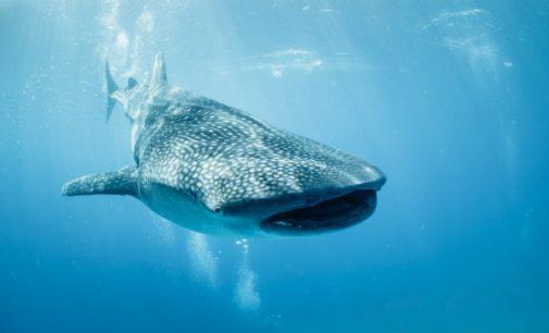 В Дубае спасли самую большую в мире акулу