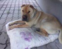 Хатико из Назарова почти месяц ждал своего хозяина