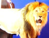 На съемочной площадке сериала «Гранд» появился живой лев!