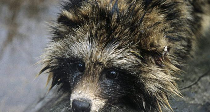 В Приморье туристы спасли уссурийскую лису