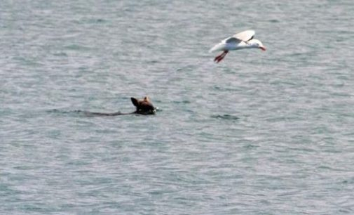 В Австралии рыбаки спасли упавшего в воду валлаби