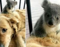 Золотистый ретривер спас от гибели детеныша коалы