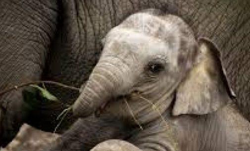 Три слона спасли тонущего слоненка