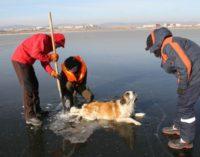 В Чите спасли вмерзшую в Кенон собаку