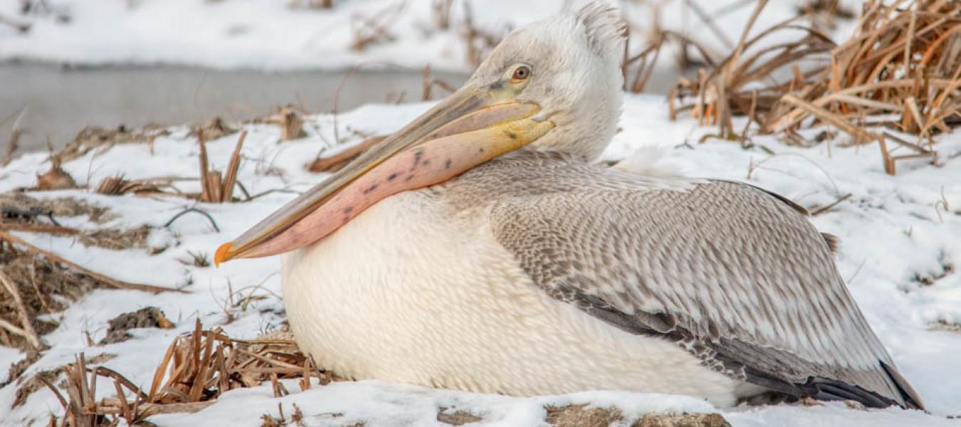 В Алтайском крае продолжается спасение пеликанов