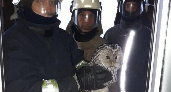 В Архангельске вызволили из плена сову, загнанную стаей ворон
