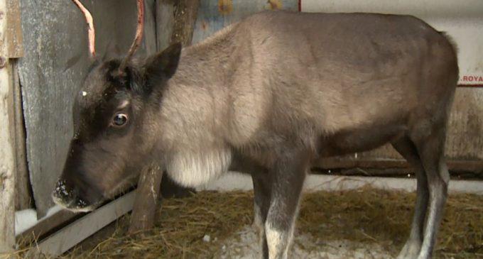 Под Красноярском спасли самку северного оленя