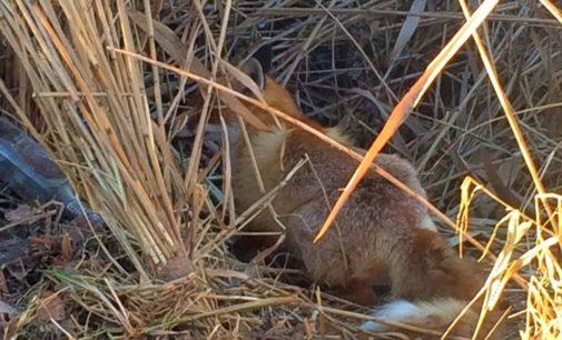 Под Киевом лисенок попал в капкан, установленный браконьерами