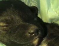 Новосибирский диггер спас восемь щенков, которые застряли под бетонной плитой