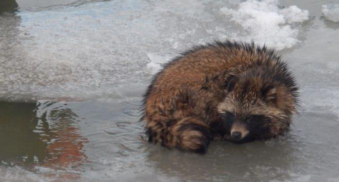В Краснодарском крае спасли застрявшего на льдине енота