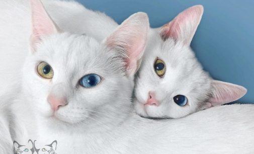 Самые красивые близнецы в мире — на новой выставке в Республике кошек