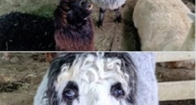 Необычного альпака с «человеческим лицом» обнаружили в Японии