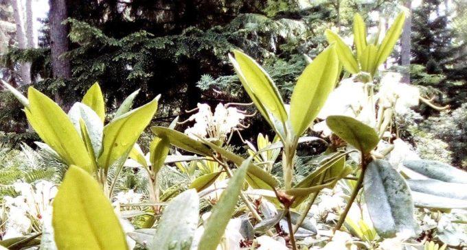 Финские рододендроны зовут! Когда меж елей и сосен — такое чудо…
