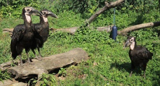 В Московском зоопарке родились два птенца кафрского ворона